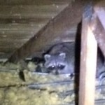 Raccoon In an Attic