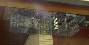 Raccoon in a soffit trap
