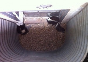 Skunks In Drain Well