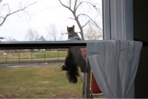This image has an empty alt attribute; its file name is Squirrel-On-Window-300x200.jpg