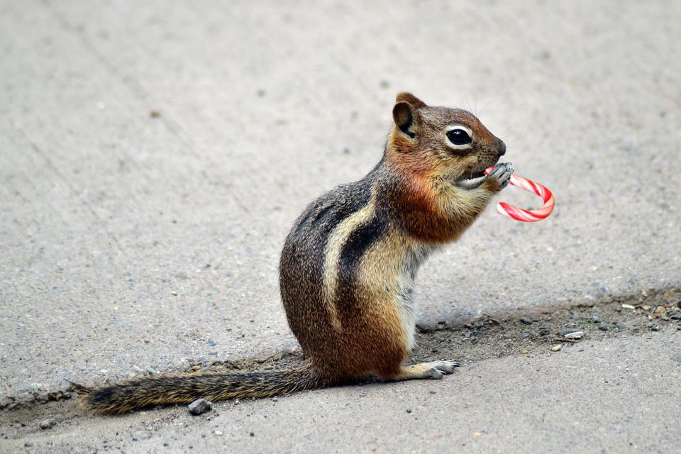 Chipmunks | Animal Trackers Wildlife Company