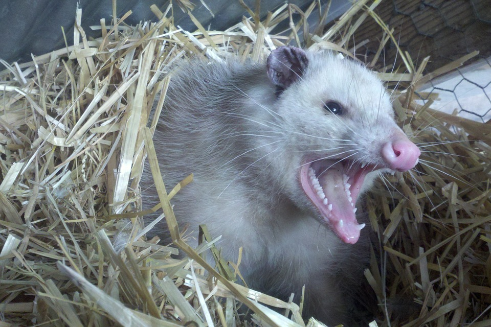 Opossums   Animal Trackers Wildlife Company