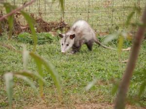 possum-183851_960_720