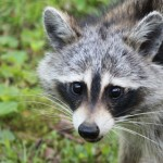 raccoons-in-the-wild-2-1624835
