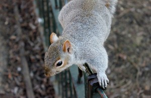 This image has an empty alt attribute; its file name is squirrel-111258_960_720-300x196.jpg