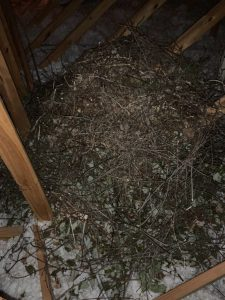 squirrel nest in attic